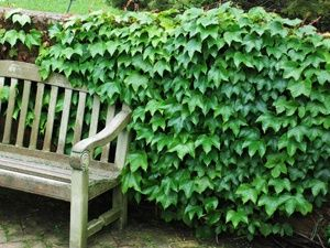 'Boston Ivy' is a fast growing vine for walls, fences and more! Grows up to 50' tall. Brilliant Ivy vine grows 6-8 feet a year!