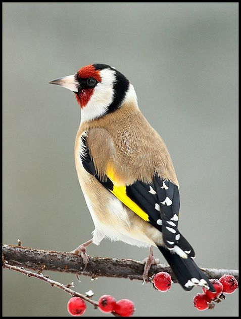 Goldfinch. They usually arrive in pairs but had seven in the garden once. I'm hoping to see some of these during my Big Garden #Birdwatch. How about you?