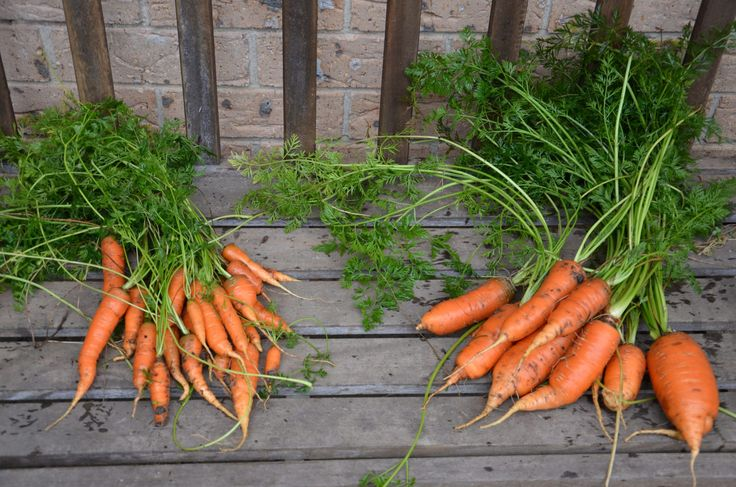 What I am harvesting in the garden this week -28th June- Winter Carrots.  »  My Productive Backyard » Learn to Grow your Own Food at Home