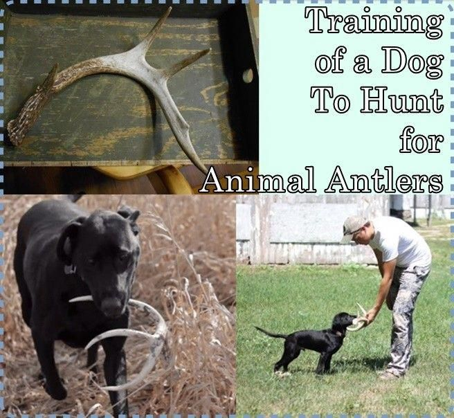 Training Of A Dog To Hunt For Animal Antlers Dogtrainingtipscases