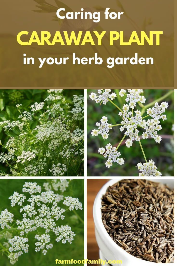 Caring For Caraway Plants In Your Herb Garden Farmfoodfamily