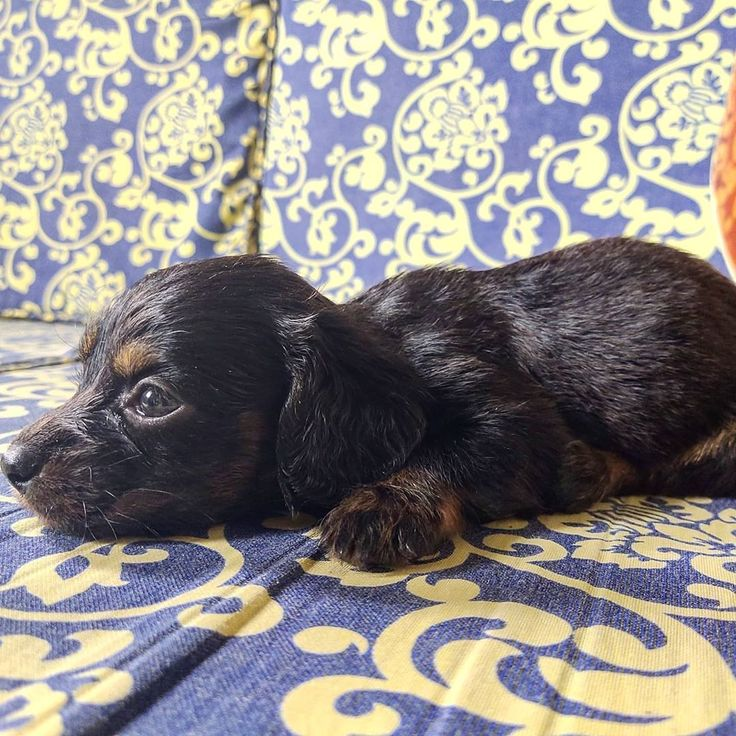 The other sibling.... in 2020 Dogs, Dachshund, Animals