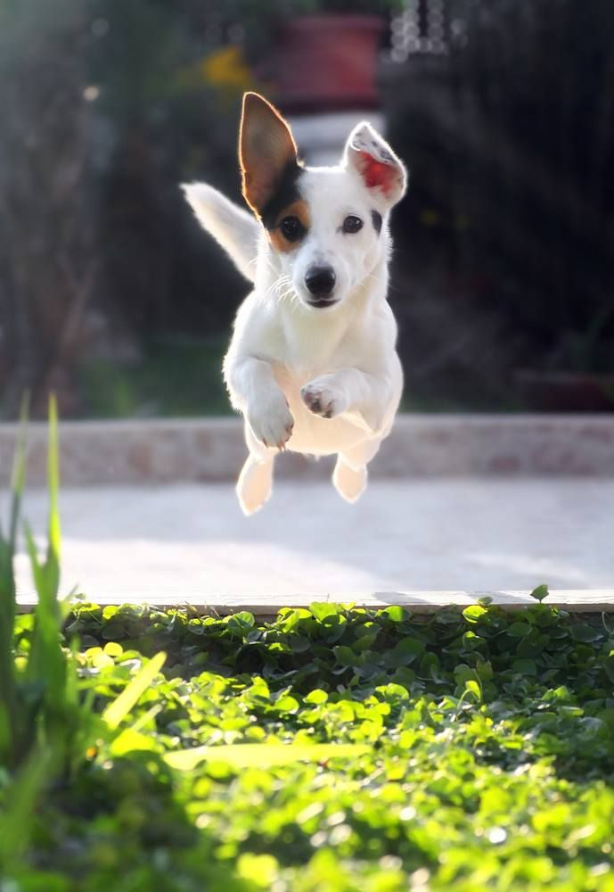It's Monday look who's jumping for joy!  - #Dogs #farm #TasSaff #puppy