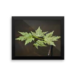 Framed photo paper poster: Maple Leaves on Water