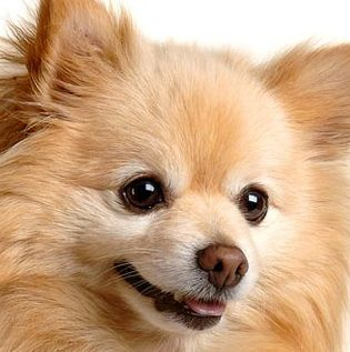 pomeranian chihuahua mix dog best 25 pomeranian chihuahua ideas on pinterest long 1394