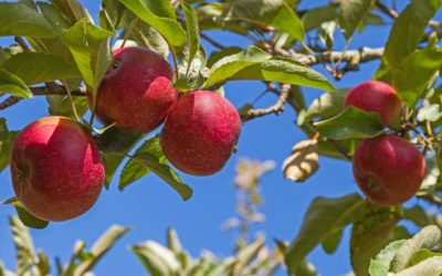 Zone 6 Apple Trees: Tips On Planting Apple Trees In Zone 6 Climates - Zone 6 dwellers have plenty of fruit tree options available to them, but probably the most commonly grown in the home garden is the apple tree. The following article discusses apple tree varieties that grow in zone 6 and specifics regarding planting apple trees in zone 6.