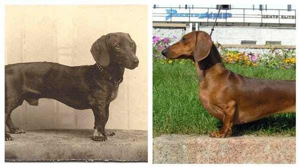 Dachshund 100 Years Ago And Today Dog Breeds What Dogs Dogs