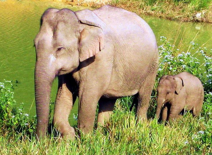 Asian Elephants,  Salak Phra Wildlife Sanctuary, Kaeng Krachan National Park and Kui Buri National Park http://www.islandinfokohsamui.com/