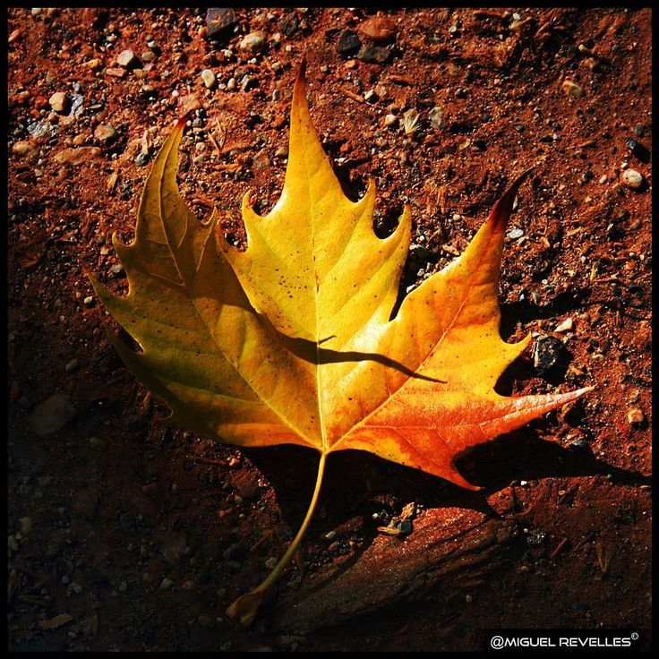 🍁 ❝Así es el color del viento y la música de las hojas secas... despojar y reciclar para vivir con más fuerza...❞ ~MiguelRevelles~ ✦ 🍁 ❝This is the color of the wind and the music of the dry leaves... stripping and recycling to live with more force...❞ ~MiguelRevelles~ ❀ #MiguelRevelles #Granada #hoja #leave #otoño #autumn #fall #beautiful #simple #nature_perfection #beauty #naturaleza #natural #tree_magic #naturalezaSabia #naturalezaSpain #love_natura #loves_world