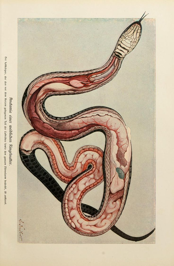 Snake anatomy from Brehm's Tierleben (Brehm's Life of Animals)