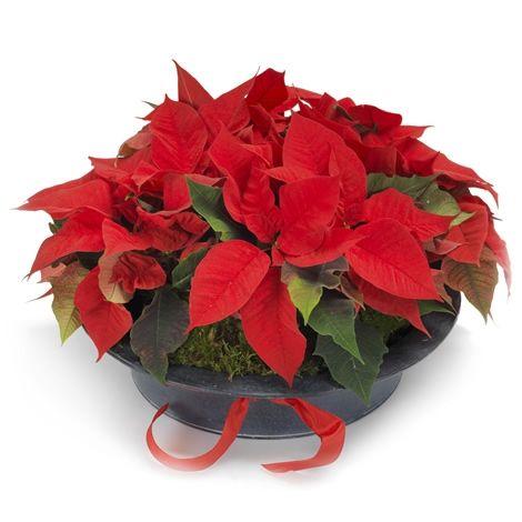 Herlige julestjerner - Forus - Maren's Blomster