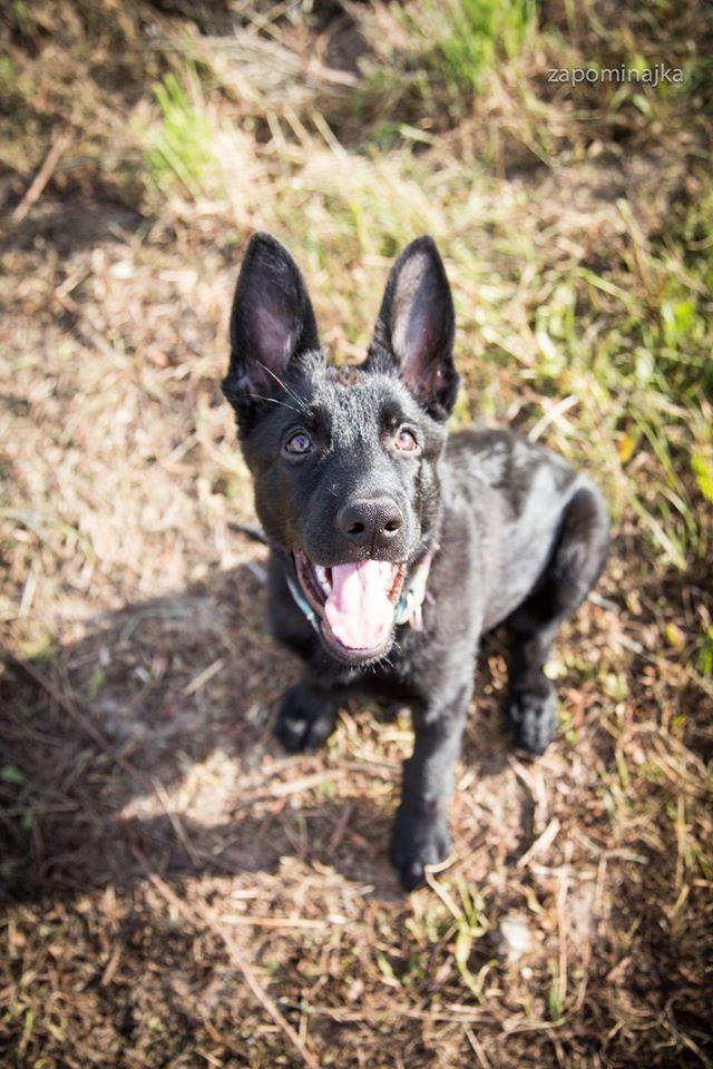 #german shepherd #puppy #black german shepherd
