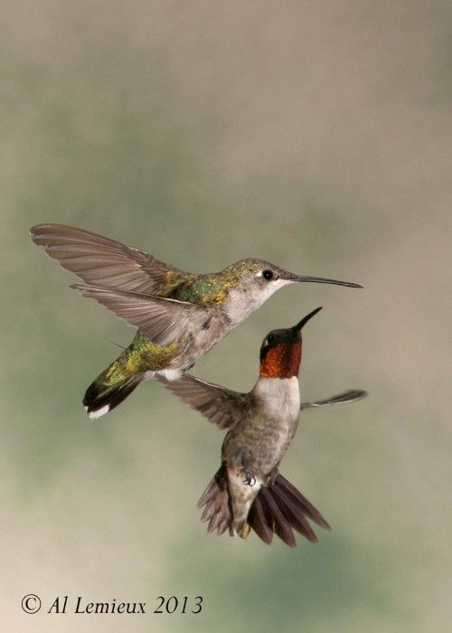 Ruby throated hummingbirds - male and female.
