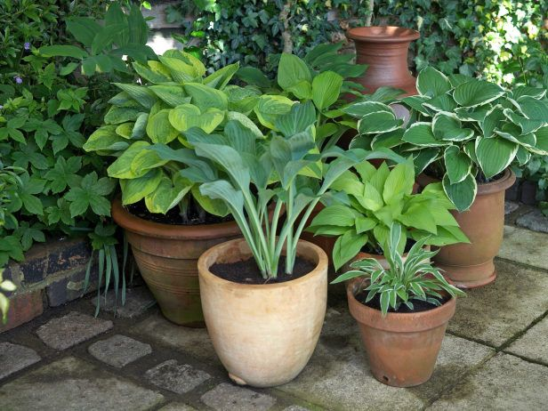 For Shade Group Hosta pots together on a summer patio or terrace. The leaves from the individual plants will help shade each other, keeping their roots cool.