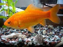 My orange goldfish called pumpkin