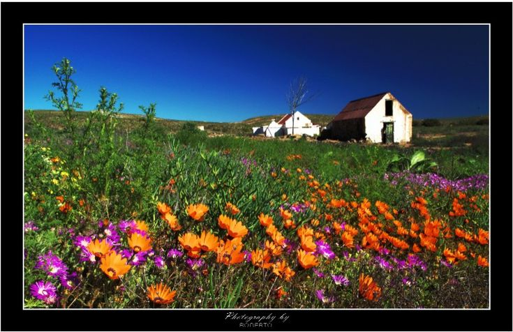 """""""There are always flowers for those who want to see them."""" Henri Matisse » Namaqualand daisies, Namaqua National Park, #south africa"""
