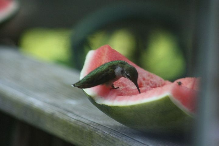 @Randi Micciche thought of your hummingbirds! Apparently they love watermelon