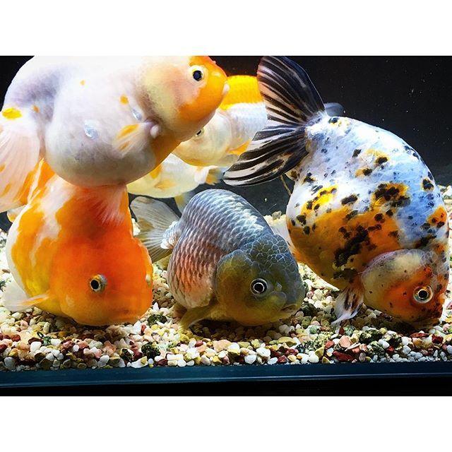 【55.mommy.jun】さんのInstagramをピンしています。 《・ ・ 水換え終了。 ・ ねぇ、もっと散らばったら⁇ 笑 ・ #family#favorite#fish#adorable#awesome#goldfish#ranchiyu#ednishiki#sakuranishi #beautiful#lovly#ilove#love#らんちゅう#金魚#水槽#アクアリウム#aquarium#江戸錦#桜錦#更紗#大好き#綺麗#家族#お気に入り#水換え#この夏で一気に大きくなった#60センチ水槽限界か⁈》