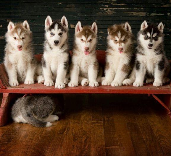 #Husky #puppies. Looks like one is camera shy!