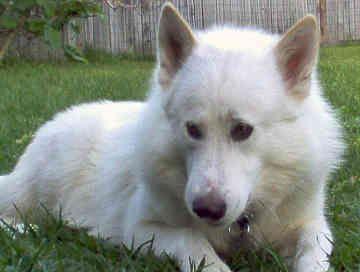 Half Wolf Half Dog Breed