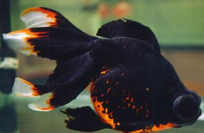 Telescope eye belongs to the variety of fancy goldfish that can be distinguished by their protruding eyes. They are also known as dragon eye or globe eye.