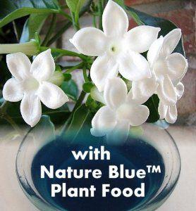 "Amazon.com: Hirt's Madagascar Jasmine Plant - Stephanotis - Bridal Wreath - 4"" Pot: Patio, Lawn & Garden"