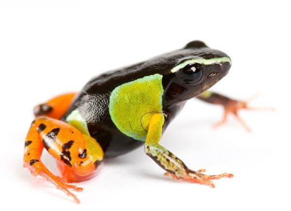 a frog of the Mantella genus, found only on Madagascar Photograph by Joel Sartore, National GeographicNature In Madagascar, Colors Frogs, Frogs Lizards, Mothers Nature, Frogs Toad, Amphibians Sweetened, Amazing Nature, Pretty Poison, Animal