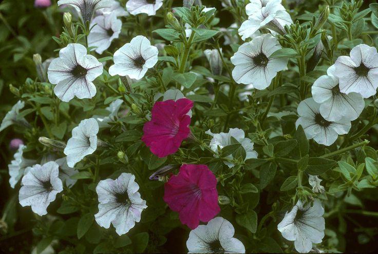 Kwiat petunii ogrodowej na różne dolegliwości
