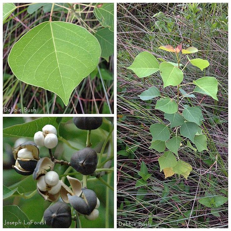 """Triadica sebifera (syn. Sapium sebiferum), better known as Chinese tallow tree or popcorn tree, was introduced to the U.S. in the late 1700s..."""
