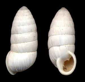 Gray Cerion  (Binney, 1851)  Cerion incanum
