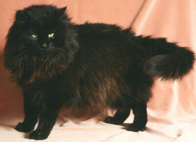 norwegian forest cats r the best!