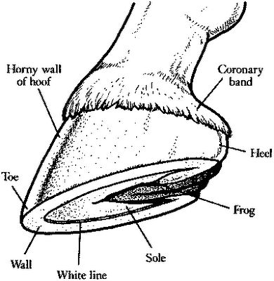 horse anatomy coloring pages - photo#30