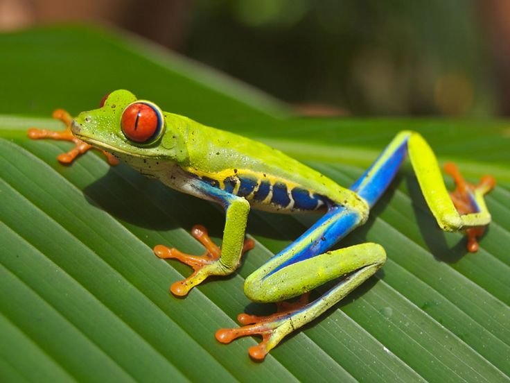 37 best About Costa Rica images on Pinterest Costa rica, Gallo - fresh coloring pages tree frog