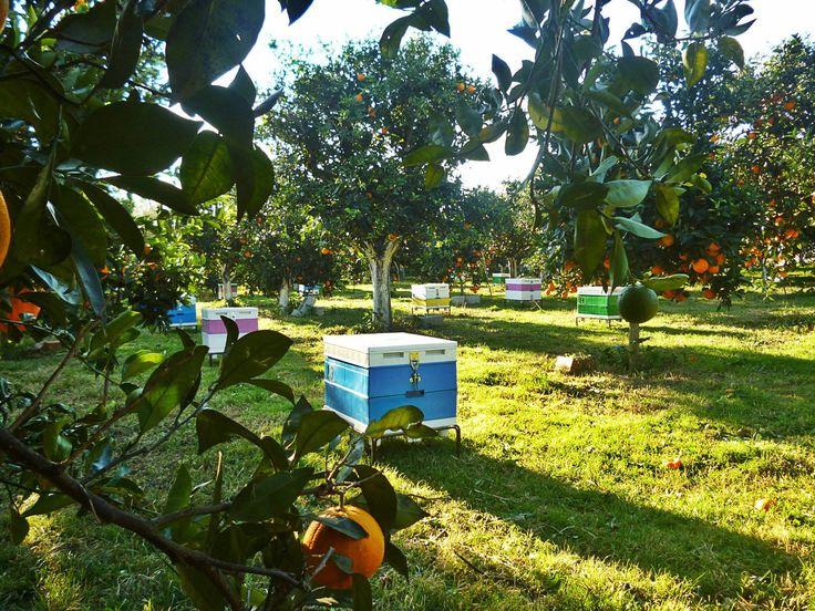 Το μελισσοκομείο στον κάμπο της Άρτας για το ξεχειμώνιασμα. Εδώ την άνοιξη συλλέγουμε το μέλι πορτοκαλιάς, ένα πολύ αρωματικό και γλυκό μέλι. Our apiary in the orangeries of Arta in northern Greece.
