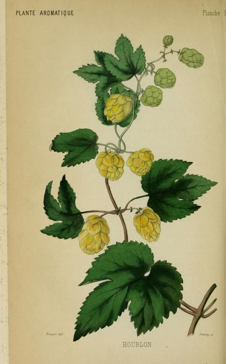 Hop (Humulus lupulus). Plate from 'Les Plantes Industrielles' (1859) by Gustave Heuzé (1816-1907)