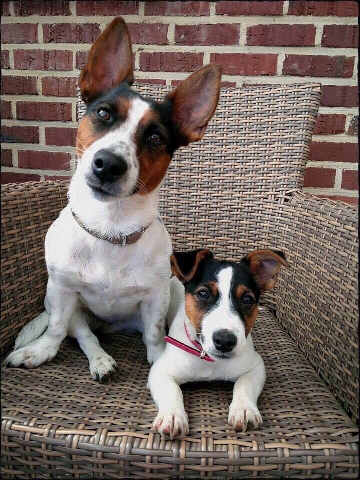 We sure love our Jack Russell Terriers https://pagez.com/3532/33-facts-about-dogs