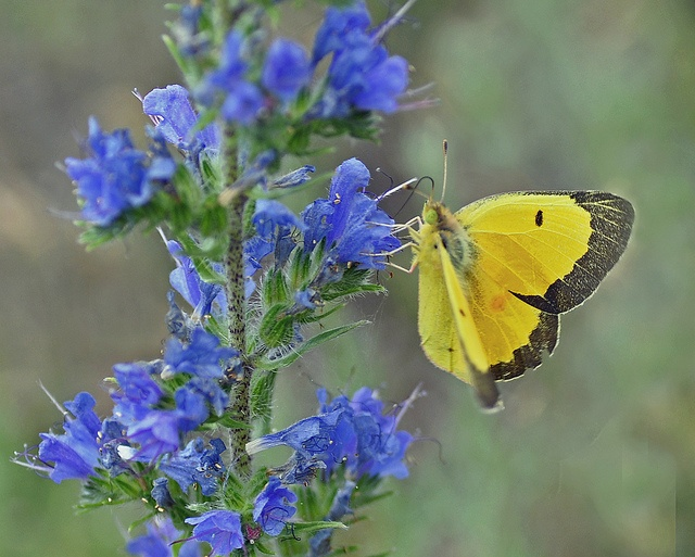 Yellow Cabbage Butterfly by AcrylicArtist, via Flickr: Butterflies, Cabbages, Photo
