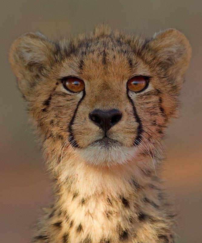 Cheeta cub