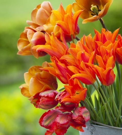 You don't expect tulips to be scented, but these are, smelling deliciously of freesias. I truly love all three. This collection includes Tulips 'Ballerina', 'Orange Favourite' and 'Brown Sugar'.