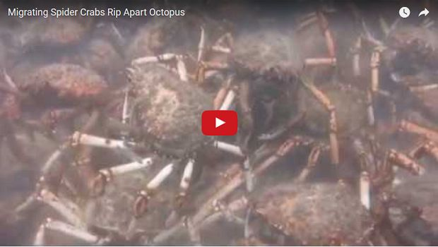 (Video) Cangrejos gigantes descuartizan en grupo a un pulpo - http://www.esnoticiaveracruz.com/video-cangrejos-gigantes-descuartizan-en-grupo-a-un-pulpo/