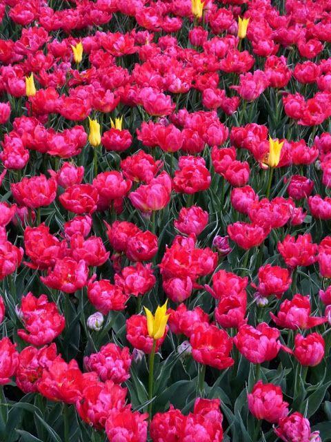 Podróżujemy po Polsce i nie tylko...: 50 tysięcy tulipanów....
