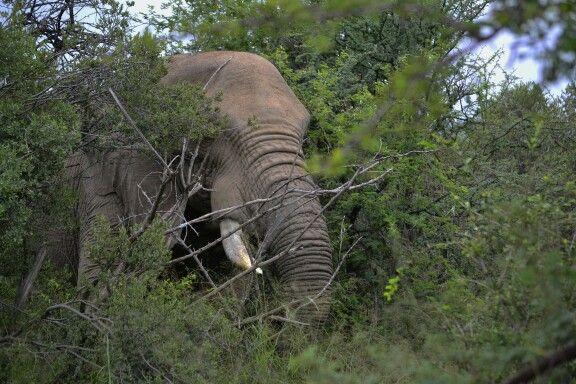 Elephant @ Pilansberg National Park