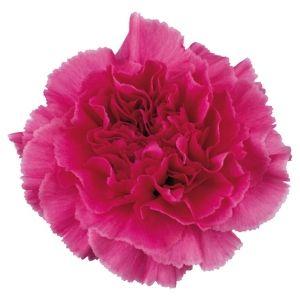 82 best dark pink wedding flowers images on pinterest wedding fiftyflowers hot pink carnation flowers mightylinksfo