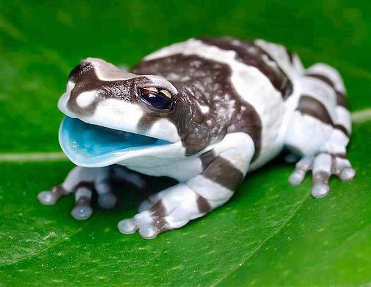 Amazon milk frog  www.twitter.com/NinjaRAWLegend