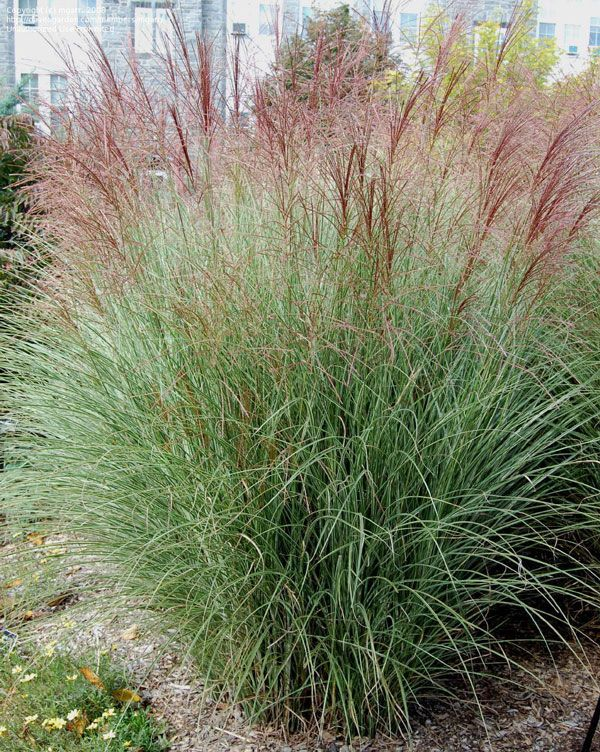 Miscanthus morning light is a very hardy deciduous grass for Low growing perennial ornamental grass