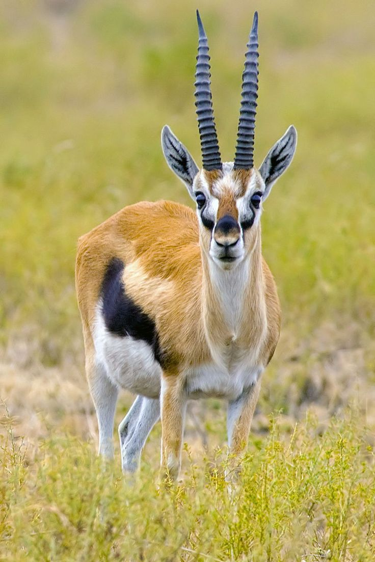 Thomson's Gazelle (Eudorcas thomsonii) - photo by Yathin S. Krishnappa, via Wikipedia;  the most common type of gazelle in Africa;  They live in Africa's savannas and grassland habitats, particularly the Serengeti region of Kenya and Tanzania.  They can run from 50-60 mph and zigzag.  They are known for their bounding leap, called pronking, used to startle predators and display strength.   https://en.wikipedia.org/wiki/Thomson%27s_gazelle