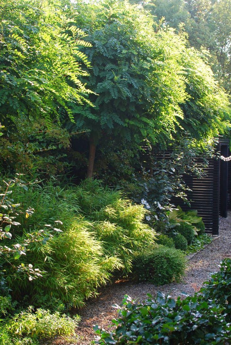 Klotrobinia, Robinia pseudoacacia 'Umbraculifera' | Zon I. Blir ett vackert, nätt träd med klotrund krona. Kronan blir 3-4 m i diameter. Långsamväxande. Saknar tornar. Sätt rejäla störar vid plantering och låt dessa vara kvar under många år framöver, annars blåser det lätt omkull eftersom kronan är så pass tät och fångar upp vinden. Ljusgrön, parbladig med 4-9 ovala parblad. Grönskar sent. 1.5-2 m.