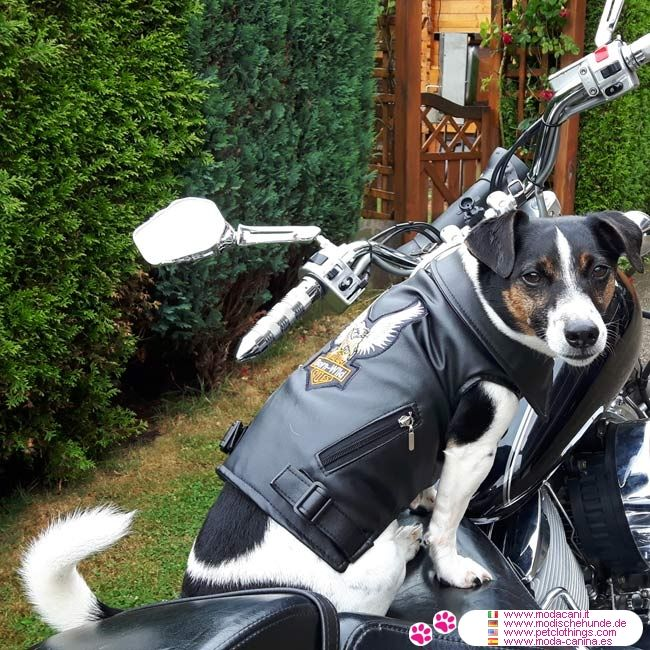 Cazadora motera de piel sintética para Perro en Negro #ModaCanina #JackRussell - Cazadora motera de piel sintética (Rider Jacket) para Perro en Negro; interior forrado en tela negra acolchada y muy fácil de llevar a su perro