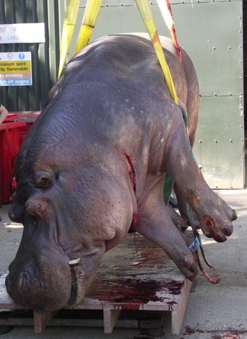 Hippo weight