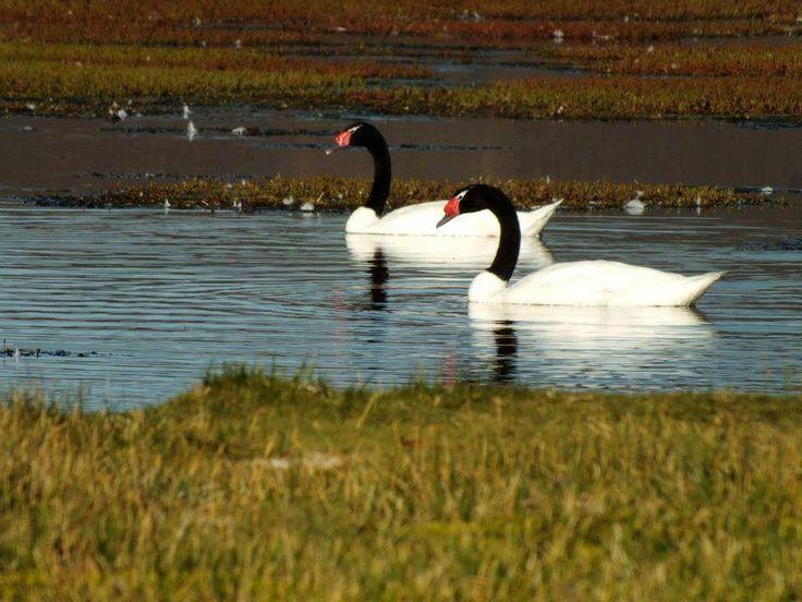 Cisnes de cuello negro,en lagunas patagonicas. Área protegida.